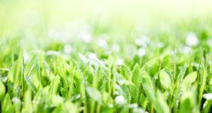草の新芽画像