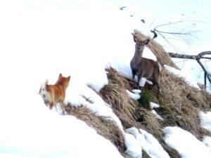 柴犬うみと鹿の対決