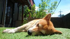 柴犬うみ寝てる