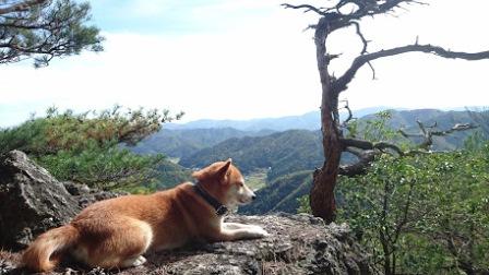 山で遠く見つめる柴犬うみ