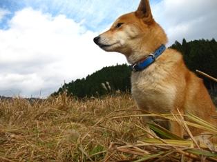 遠くを見つめる柴犬うみ