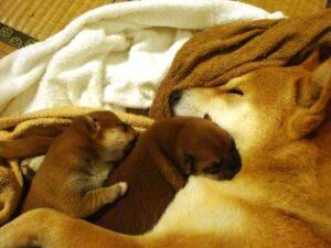 2度目の出産。柴犬うみ