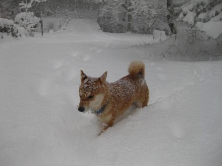 雪の中を行く柴犬うみ