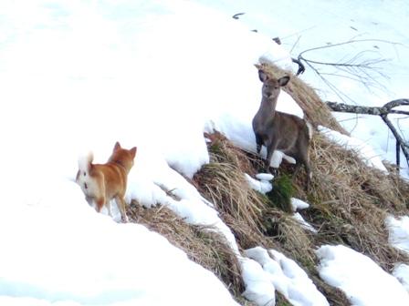 柴犬うみ、鹿と対決