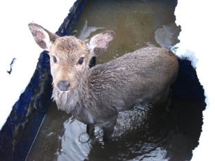 庭の池に落ちた鹿
