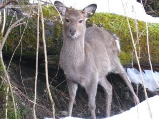 柴犬うみと対決した鹿
