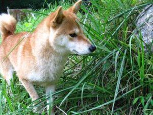 柴犬うみ2010年10月