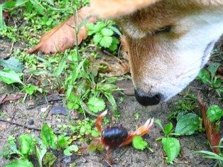沢蟹と柴犬うみ