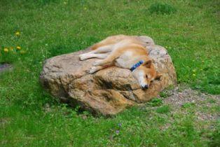 庭で甲羅干しの柴犬うみ