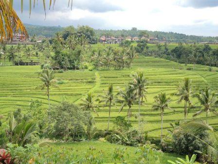 インドネシア田んぼ